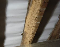Woodworm eradication from Verminate
