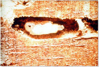 Woodworm Larvae Eat Woord & Timber