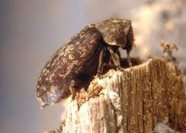 Woodworm Beelte grows into an adult
